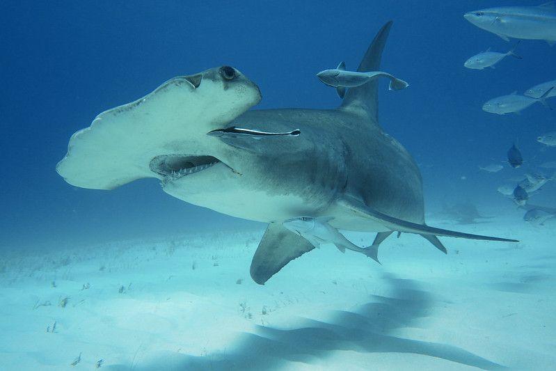 informacion tiburon martillo