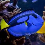 info pez cirujano azul