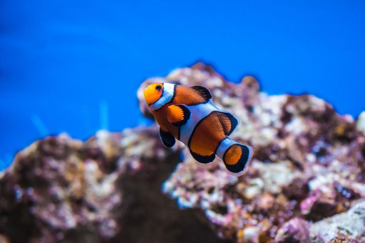 donde ver el pez payaso