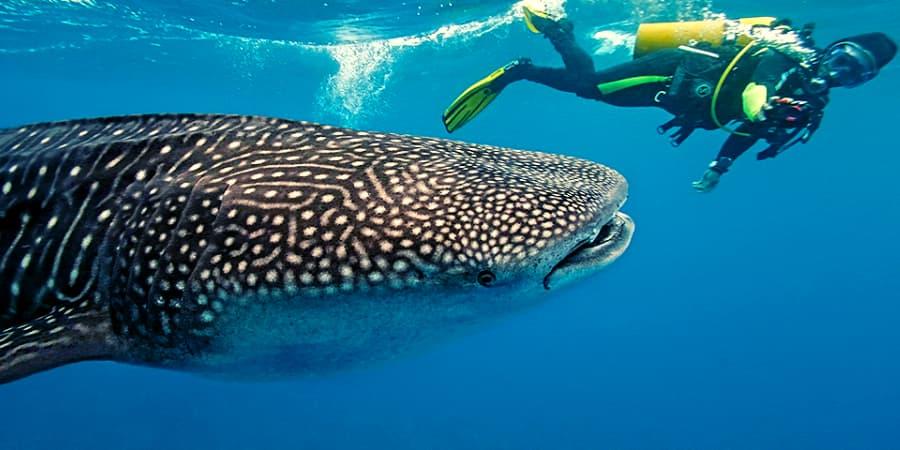 tiburon ballena bucear